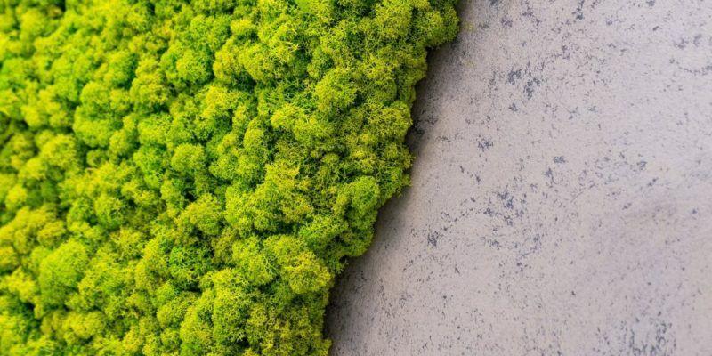 Mech chrobotek reniferowy, czyli kawałek lasu na ścianie